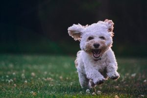 white-animal-therapy-dog-running-through-field